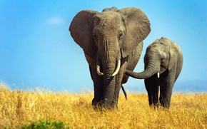 Wallpaper elephant, Africa, elephants, the elephant, elephant