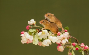 Picture animals, flowers, branch, pair, mouse, rodents