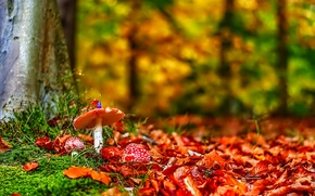 Picture mushroom, trees, grass, mushrooms, forest, leaves
