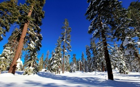 Picture winter, forest, snow, trees, spruce