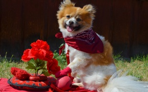 Picture flowers, mood, toys, Spitz