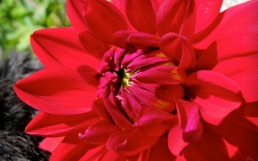 Picture flower, red, Dahlia