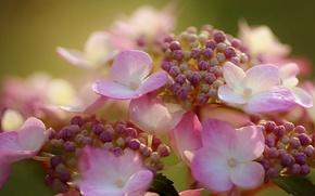 Picture macro, flowers, hydrangea, inflorescence
