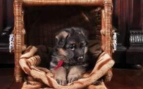 Picture basket, puppy, German shepherd
