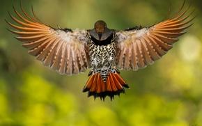 Picture bird, wings, Golden silkly woodpecker