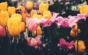 Wallpaper flowers, pink, petals, tulips