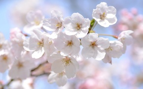 Picture macro, cherry, tenderness, spring, Sakura