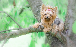 Picture tree, dog, York, Yorkshire Terrier