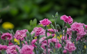 Picture flowers, pink, carnation