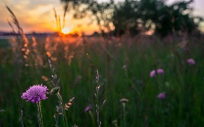 Picture field, grass, the sun, macro, sunset, Flowers, the evening, blur, lilac