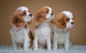 Picture puppies, trio, spotted, spaniels