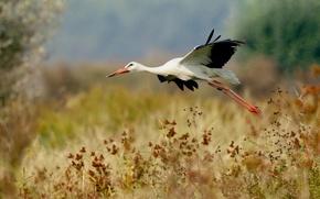 Picture bird, stork, flight, bokeh
