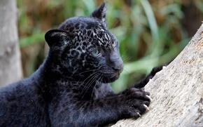 Picture predator, claws, Jaguar, cub, Panthera onca