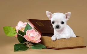 Picture flowers, box, cute, puppy, Chihuahua