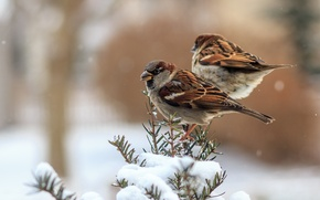 Picture winter, feathers, birds, sparrows