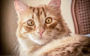 Picture cat, cat, look, portrait, muzzle, red