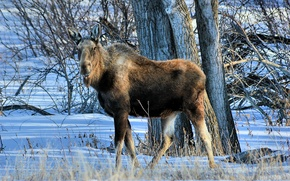 Picture nature, background, moose