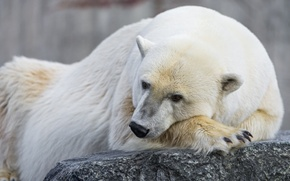 Picture look, stone, polar bear, polar, ©Tambako The Jaguar