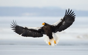 Wallpaper Sea Eagle, flight, bird