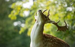Picture animal, head, deer, neck