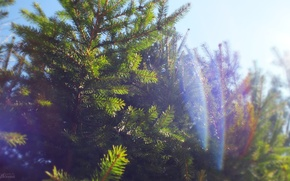 Picture the sky, the sun, nature, spruce
