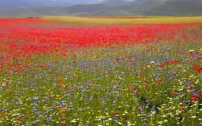 Wallpaper flowers, chamomile, field, Maki, grass, cornflowers