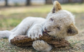 Picture cat, the game, claws, cub, lion, ©Tambako The Jaguar, white lion