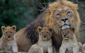 Picture mane, lions, the cubs, cubs, fatherhood, Leo, kittens
