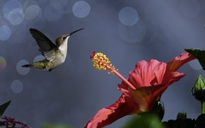 Picture flower, birds, nature, Hummingbird, bird, bokeh, hibiscus