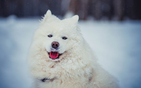 Picture winter, language, look, face, snow, dog, wool, white, Samoyed