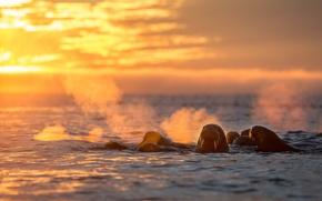 Picture sea, walrus, Spetsbergen