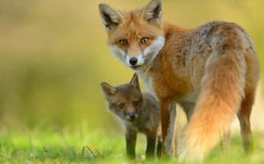 Picture look, Fox, Fox, Fox, cub