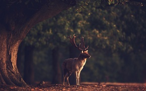 Picture forest, nature, animal, deer