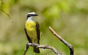 Picture Yellow, Bird, Beak, Eye, Branch, Bem-Te-Vi