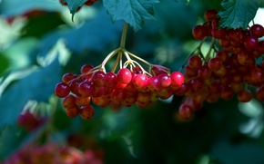 Picture summer, berry, red