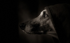 Wallpaper portrait, dog, hood