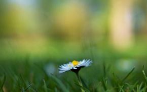 Picture greens, grass, flowers, background, widescreen, Wallpaper, blur, Daisy, wallpaper, flowers, flower, widescreen, background, full screen, …
