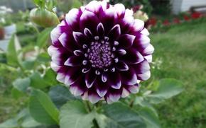 Picture flower, garden, Dahlia, the garden
