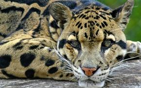 Picture leopard, wild, hunter