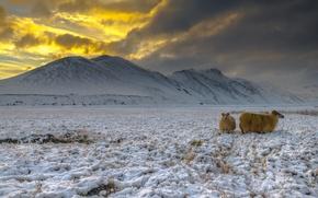 Picture snow, Iceland, highlands, goats, Landmannalaugar