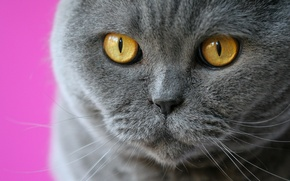 Wallpaper cat, eyes, cat, mustache, look, muzzle, British Shorthair