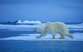 Picture water, floe, polar bear