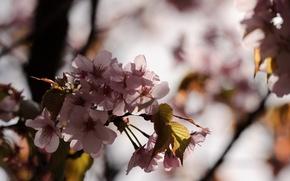 Picture macro, Japan, Sakura