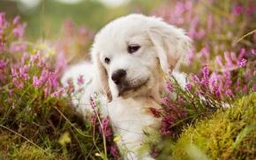 Picture white, flowers, portrait, dog, meadow, puppy, lies, Golden, Retriever