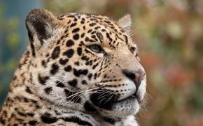 Picture cat, face, Jaguar