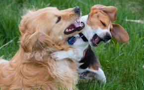 Picture dogs, joy, mood, the game, friends, Beagle