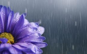 Wallpaper Astra, rain, lilac, flower, drops