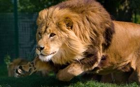 Wallpaper face, movement, predator, Leo, running, mane