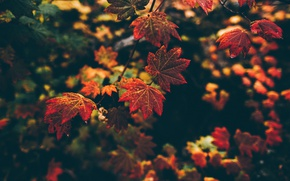 Picture autumn, macro, nature, foliage, branch
