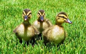 Picture grass, nature, bird, ducklings